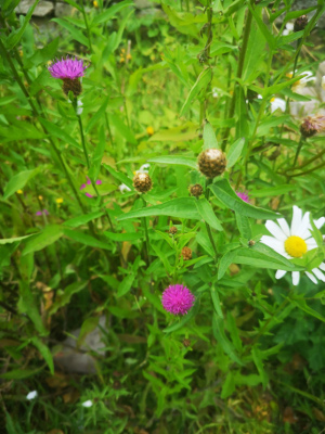 Knapweed and ox eye daisy