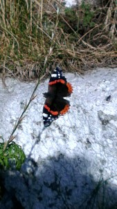 Red Admiral - It's hard to snap them landed, they dart about so much