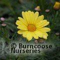 Argyranthemum 'Cornish Gold'