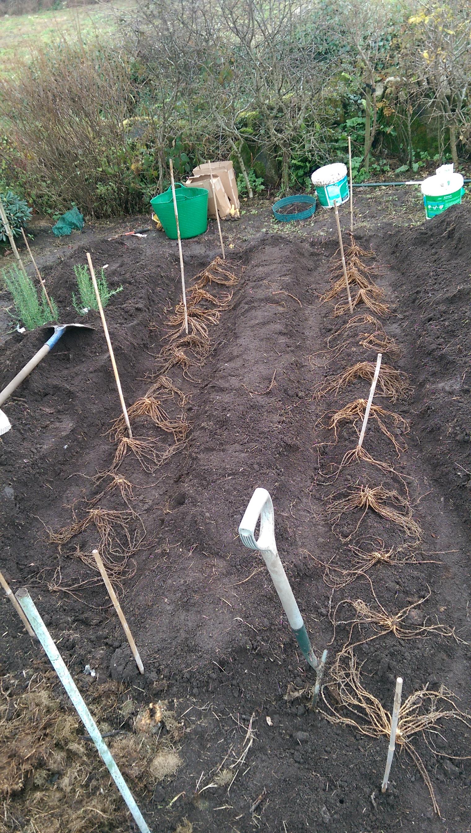 Asparagus set out