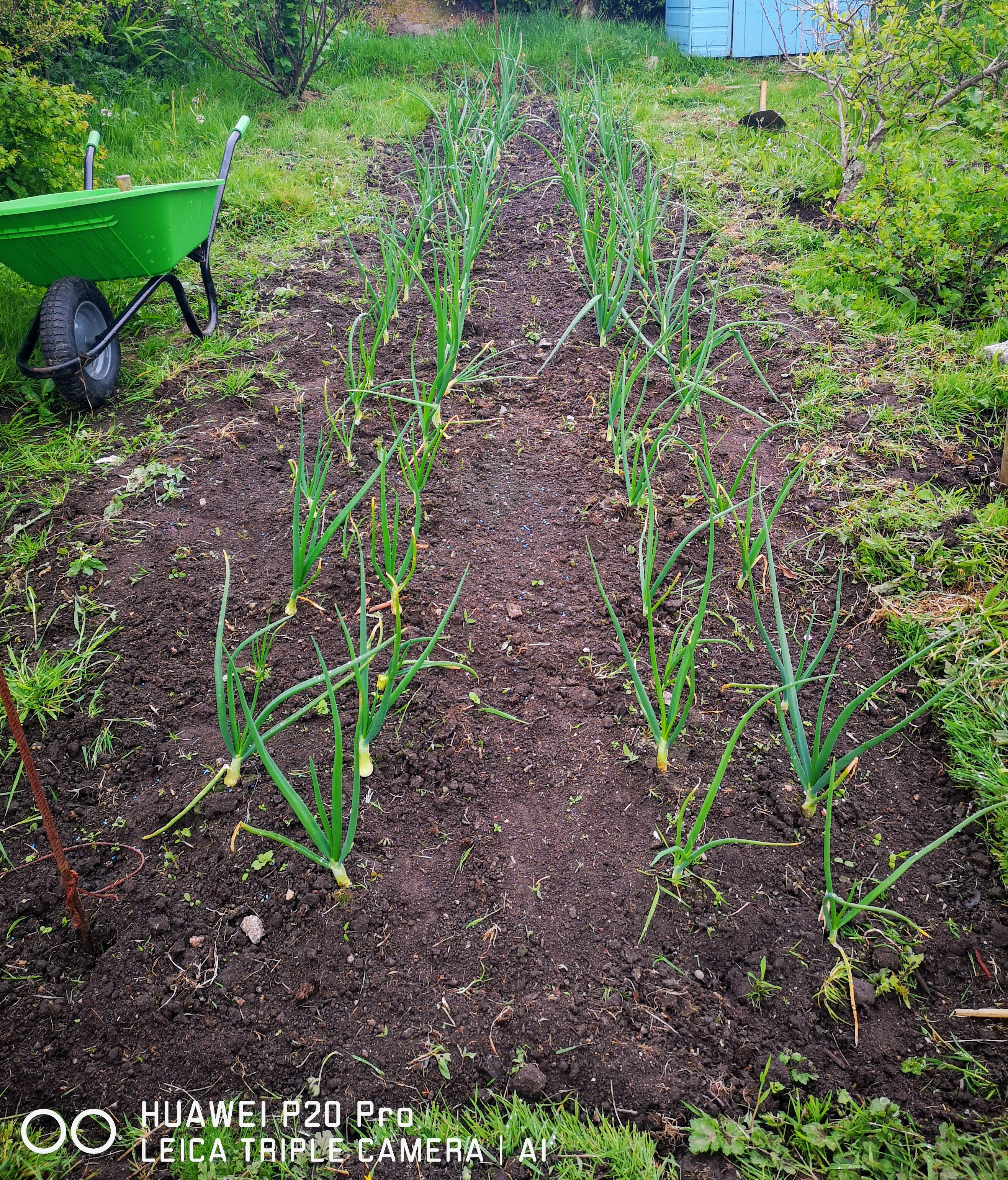 Autumn planted onions